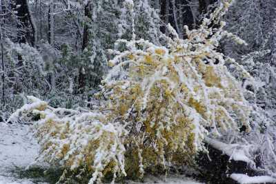 forsythia and snow