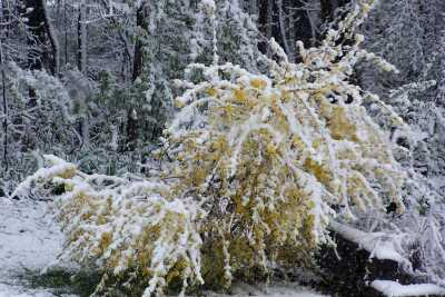 forsythia and snow