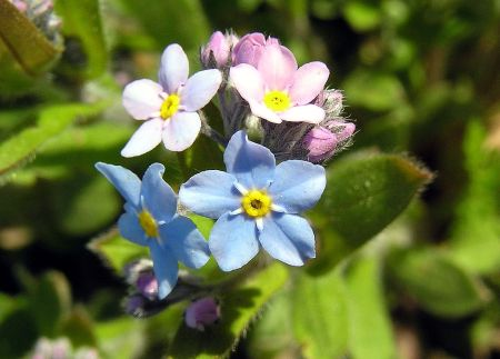"The beautiful petals of five lobes of the ""forget-me-not"" bring to mind the words of Psalm 119:93."