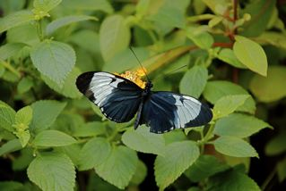 Blue longwing butterfly